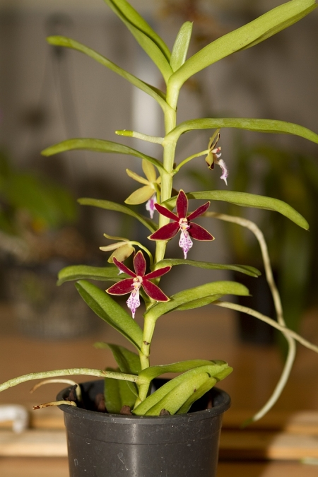 Orchids, Trichoglottis philippinensis
