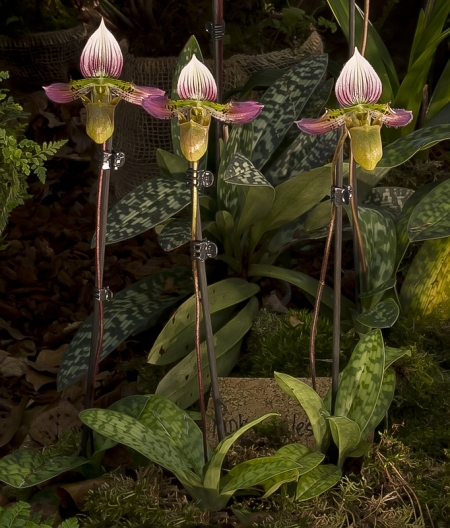 Orchids, Paphiopedilum acmodontum