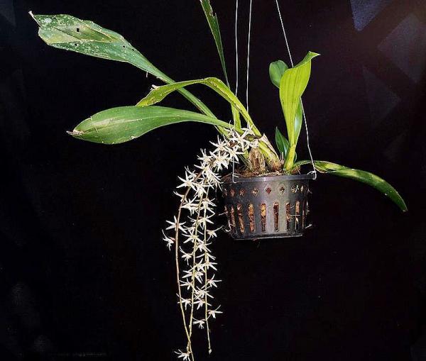 Orchids, Eria javanica