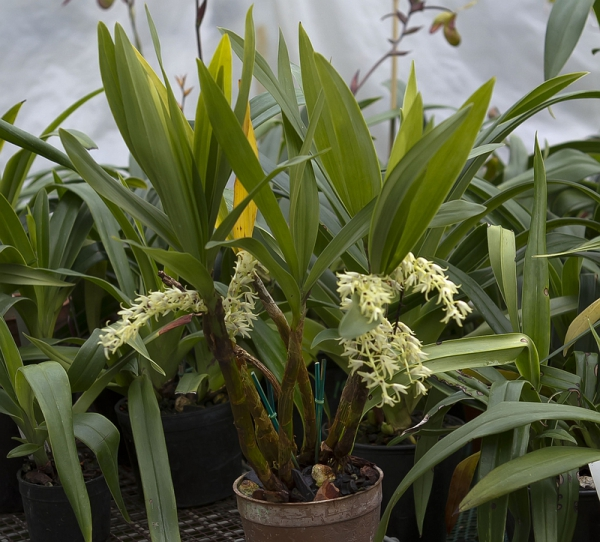 Orchids, Eria rostriflora