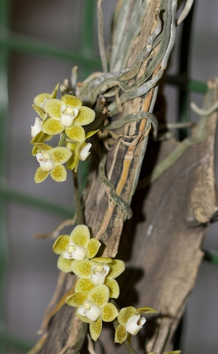 Calendar Weeks : Orchids chiloschista parishii