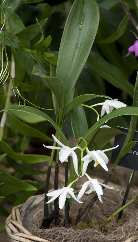 Orchids, Eria coronaria