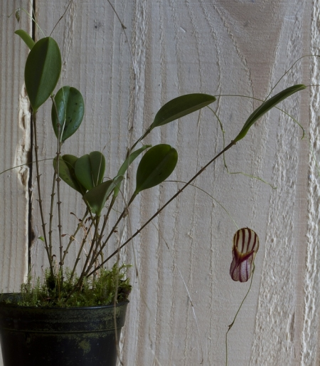 Calendar South Australia : Orchids lepanthes caprimulgus
